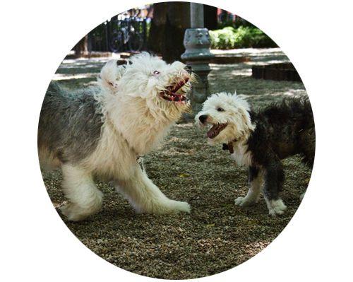 Embarazo psicológico canino #mascotas #perros #canino #magazine #embarazo #embarazocanino