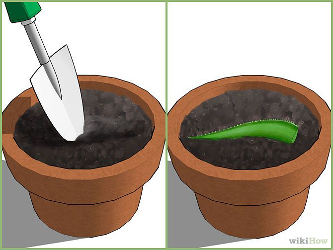 How to Grow an Aloe Plant With Just an Aloe Leaf.