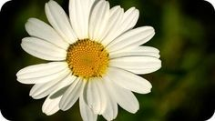 Meaning of Daisy