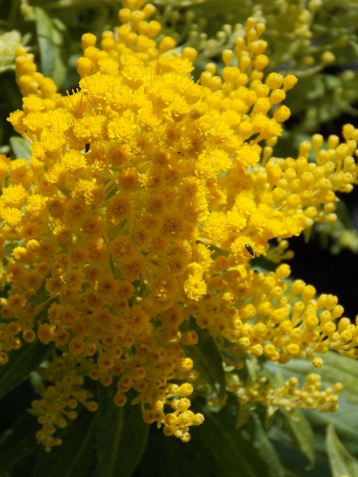 7 Best Images About Solidago On Pinterest Florists