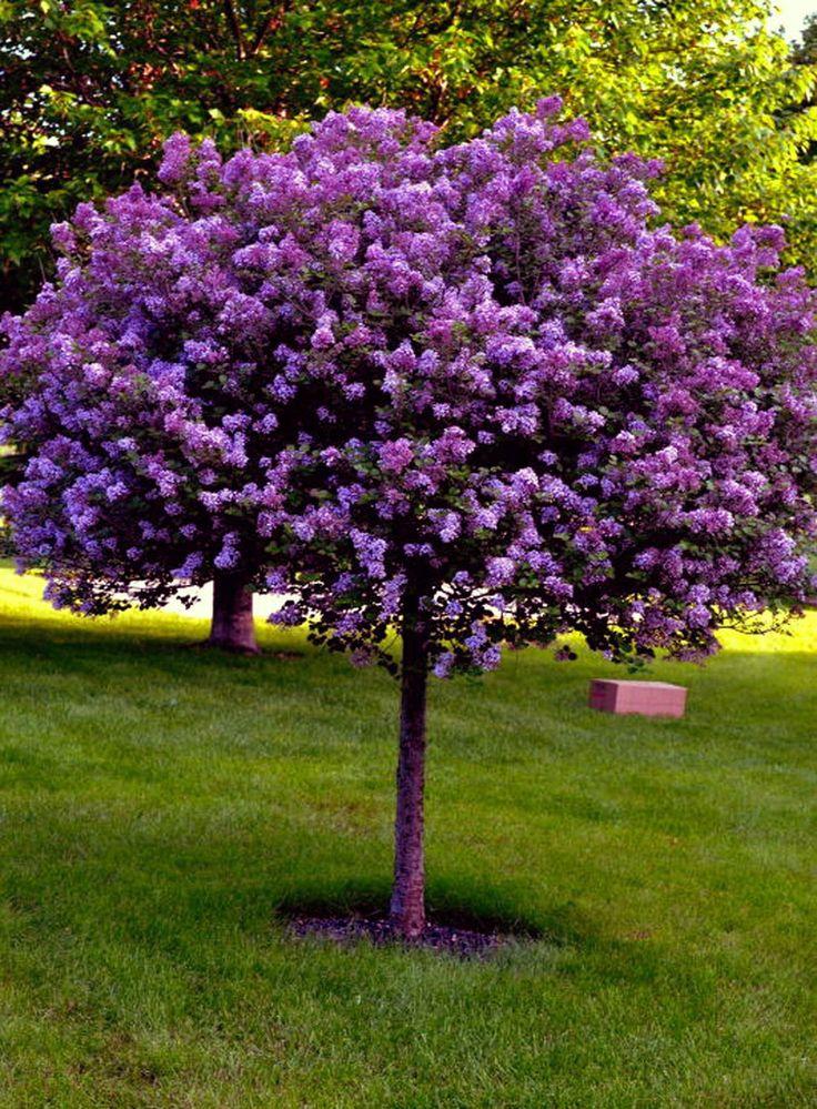 сирень деревом фото дизайнеры декораторы