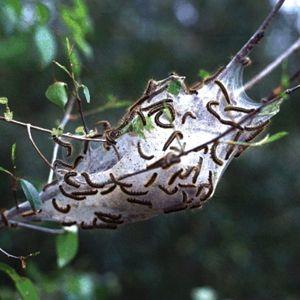 How to Control Tent Caterpillars : Organic Gardening