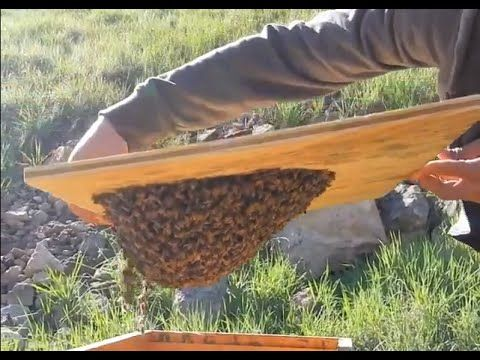 Bee Swarm Trap - FREE BEES : ) - YouTube