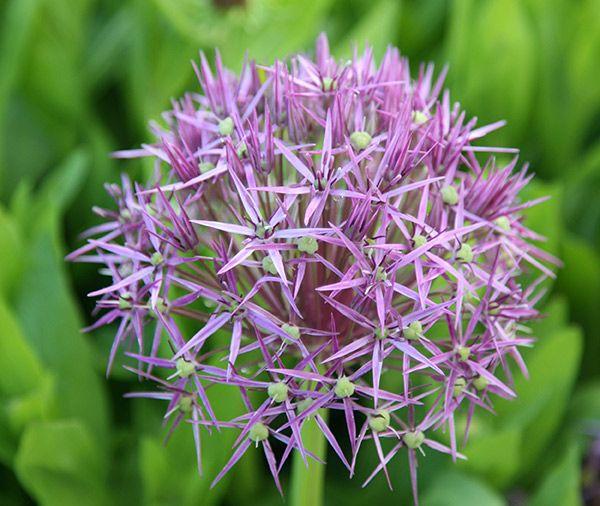Buy allium star of Persia bulbs ( Allium christophii ) Allium cristophii: Delivery by Crocus.co.uk