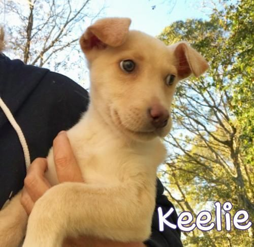 Keelie is an adoptable Dog - Shepherd & Labrador Retriever Mix searching for a forever family near Spanish Fort, AL. Use Petfinder to find adoptable pets in your area.
