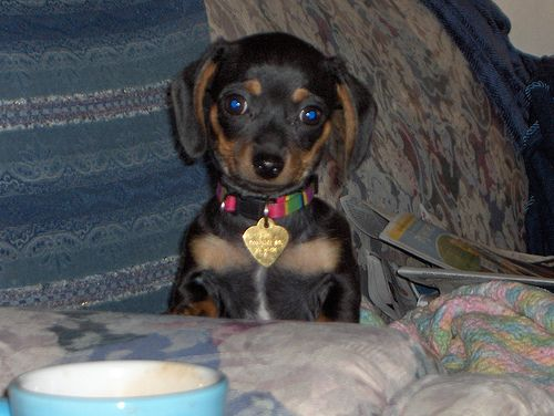 Chiweenie. Yes, people apparently cross chihuahuas and