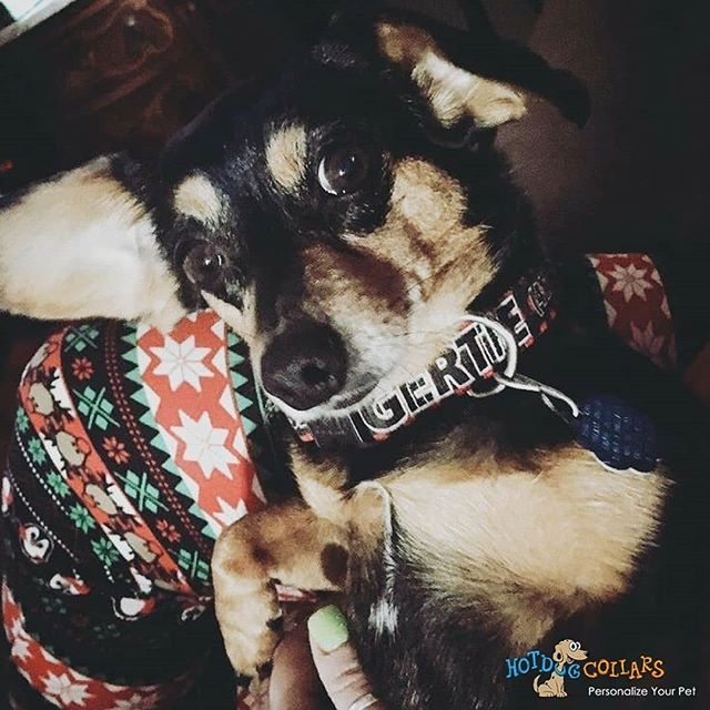This little snuggle bug is our #HotDogOfTheDay . . . meet Gertie @vacationchic . . . .  #ImAHotDog #DogOfTheDay #HotDogCollars #WeeklyFluff #BestWoof #DailyBarker #BuzzFeed #MadeInAmerica #USA #DogsOfInstagram #Puppy #InstaDog #Love #Petstagram #InstaGood #Adorable #Happy #InstaPet #Petsagram #DogsOfIG #Smile #Fun #PetsOfInstagram #Dog #DogCollar #PetAccessories #Trendy #InstaDaily #Wednesday