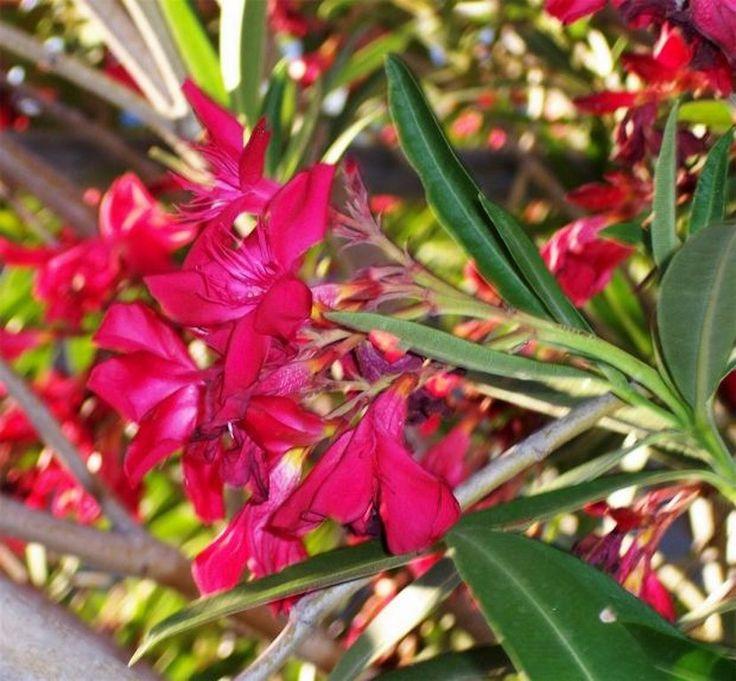 ¡Cuidado con las plantas venenosas! - http://www.jardineriaon.com/cuidado-con-las-plantas-venenosas.html