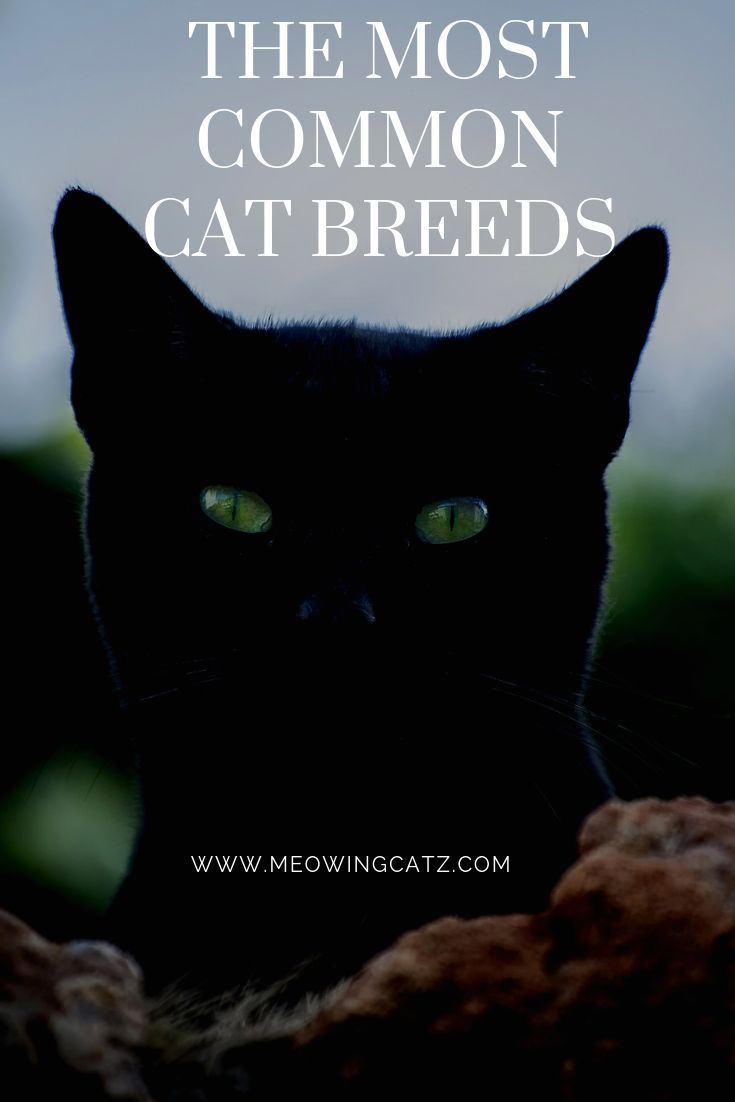 The 5 Most Popular Cat Breeds In 2019 Cat Breeds Most Popular