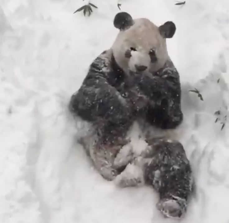 Tian Tian, the Smithsonian National Zoo's male giant panda, seemed delighted with the blizzard over the weekend, rolling around in the snow with giddy abandon.