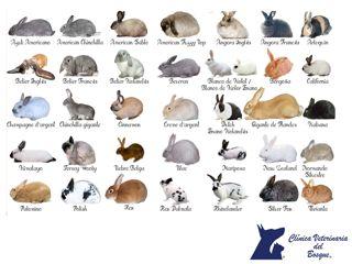 Razas de conejos. LA MEJOR CLÍNICA VETERINARIA DE MÉXICO. Los conejos son pequeños mamíferos con colas cortas, bigotes y largas orejas distintivas. Existen alrededor de cincuenta razas de conejos en todo el mundo. Muchas personas piensan que los conejos son del tamaño de un gato, pero algunas especies como la liebre, pueden llegar a ser tan grandes como un niño pequeño. Las especies de conejos pequeños pueden medir de 20 a 50 centímetros de largo. #veterinaria