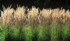 http://www.bluestem.ca/  Link for ordering grasses online