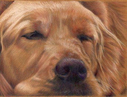 Golden Retriever, colored pencil painting by Sandra Angelo. Learn her drawing techniques here, and in her eWorkshop. ^ch #howtodraw #dogs
