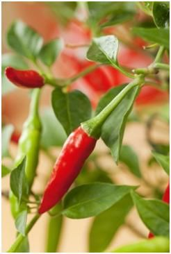 Growing Chilli Peppers Guide