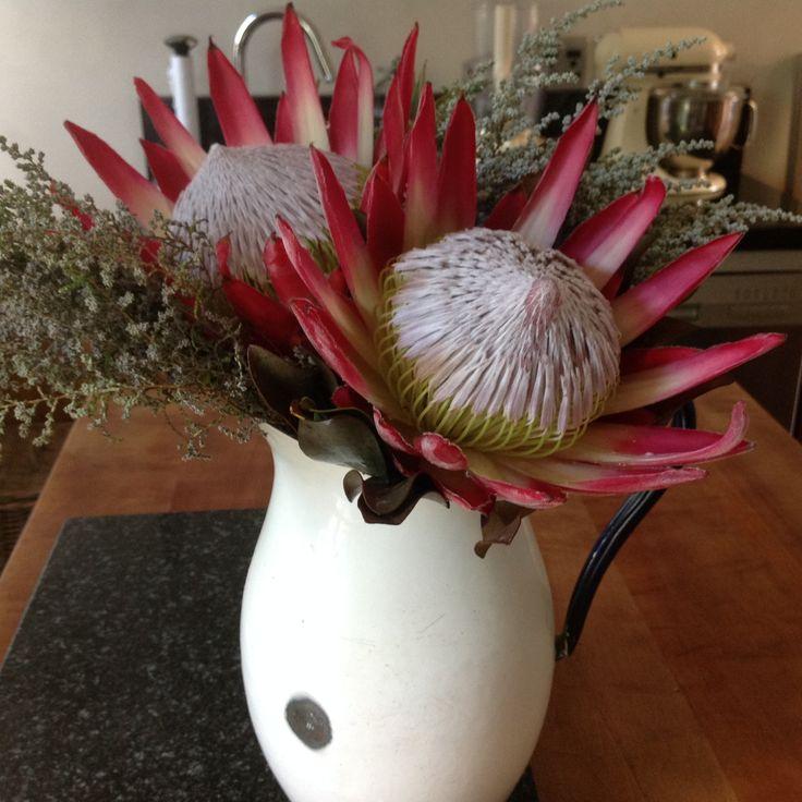 Proteas in my favorite enamel jug