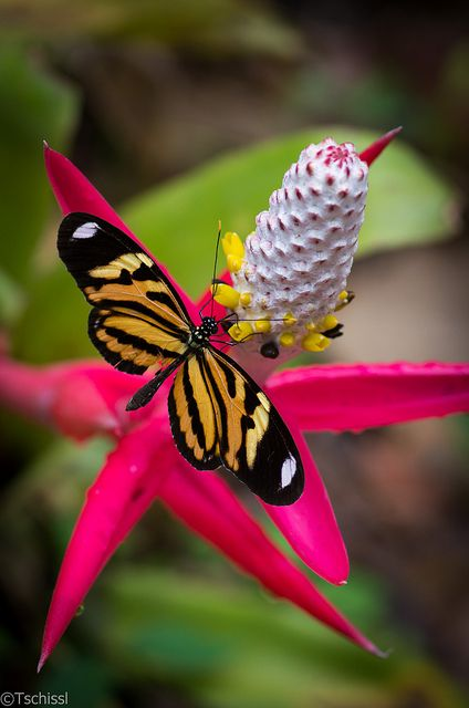 ~~Bright and colourful - longwing butterfly by Tschissl~~