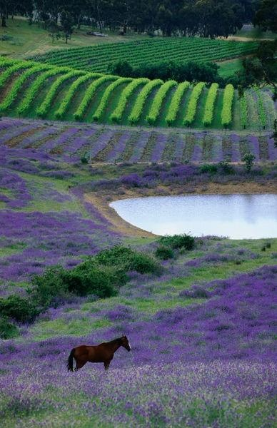 Horse in paddock with rows of vines in background at Mintaro, Australiya ~ photo, John Hay, Lonely Planet Images