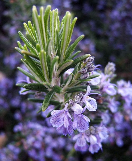 """Rosemary Plant - 3"""""""" pot - Great Herb Plant for Indoors or Out"""