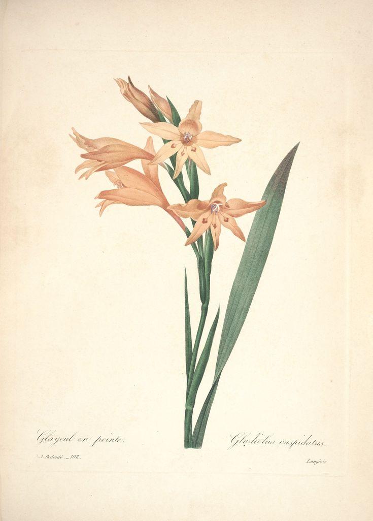 gravures de fleurs par Redoute - Gravures de fleurs par Redoute 133 glayeul en…