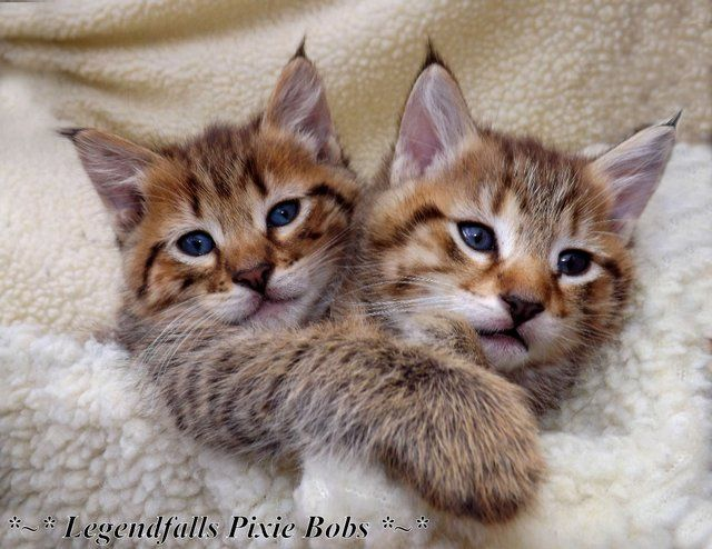 types of cats breeds with pictures bobcat minx | Preloved | pixie bob cubs..top uk lines..tica registered for sale in ...