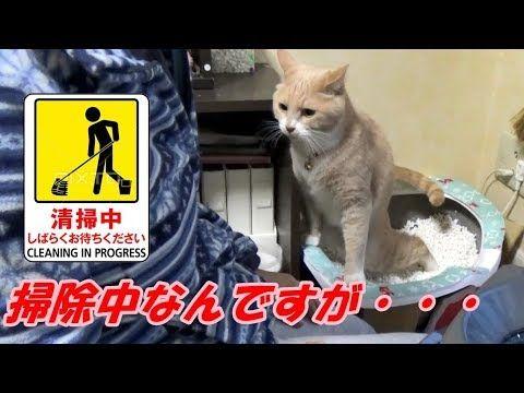猫トイレを掃除し終えるとスグに用を足しに来る猫だいず【猫日記こむぎ&だいず】2017 11 18