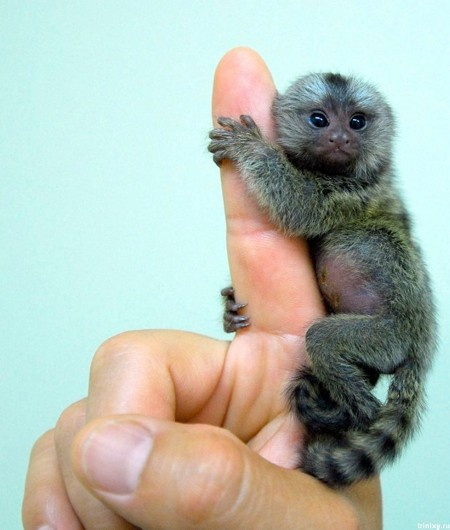 Where can I get a finger monkey?!