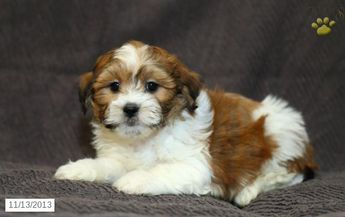 Buster - Shichon Puppy for Sale in Ronks, PA - Shichon - Puppy for Sale