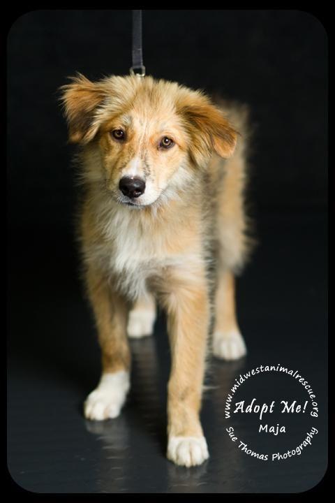 Adopted Maja Golden Retriever German Shepherd Dog Mix