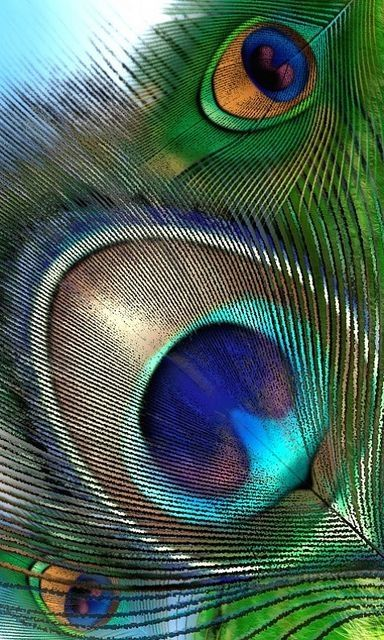 : : : peacock feather : : : by Honti
