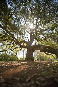 The Emancipation Oak in Hampton, VA. Incredible history.  Found near Hampton University