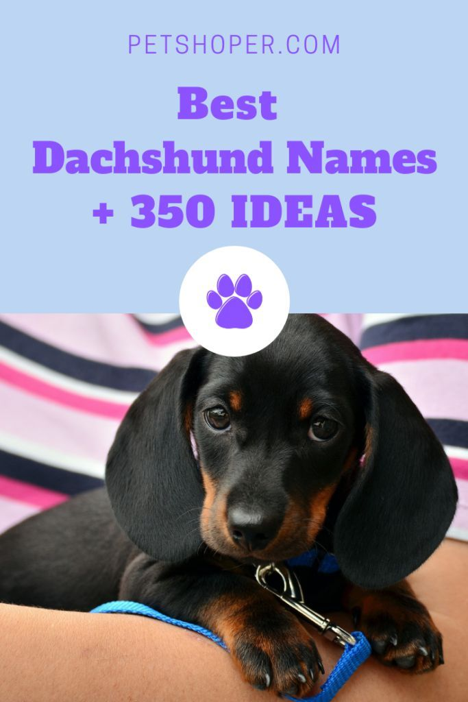 Dachshund Names Best 350 Ideas For Naming Your Dog Dog Names