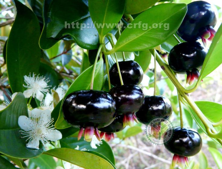 Brazilian Cherry Fruit and Flower on Tree