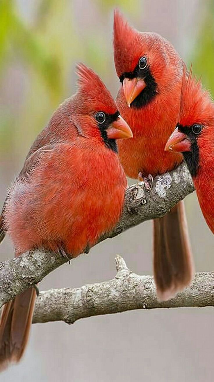 Songbirds - Magnificent trio of Northern Cardinals. - by Bonnie Barry