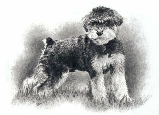 Schnauzer Drawing Easy: 34 Best Small Breed Dog I've Sketched Images On Pinterest