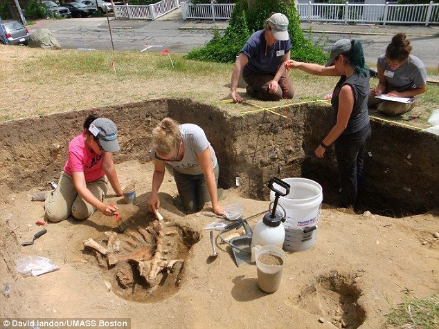 The team excavated a trove of 17th century artifacts, including pottery, tins, trade beads, and musket balls at the site in Massachusetts ¿ but they say the discovery of a calf skeleton, buried whole, confirmed that they¿d pinpointed a location inside the settlement walls