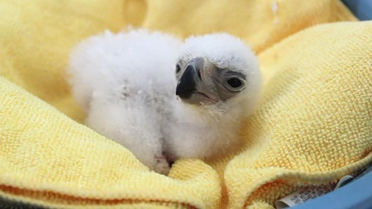 A Philippine eaglet was born at the eagle center in Davao City in December. It is one of the most critically endangered birds in the world. (Philippine Eagle Foundation) | The Weather Channel