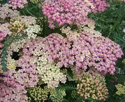 yarrow - white and pink