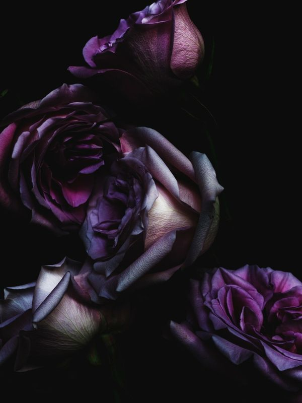 Black and Red Roses Red And Black Rose Wallpapers Wide