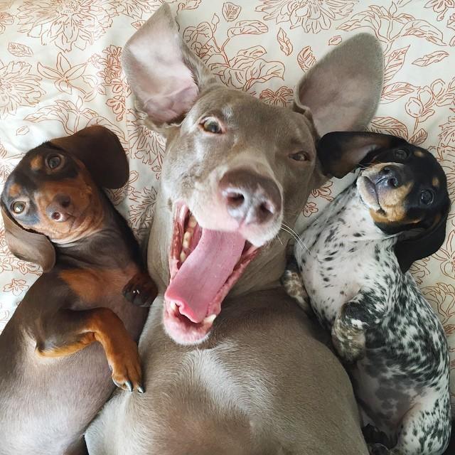 Those three charming doggies, making us smile - Indiana, Harlow, Reese