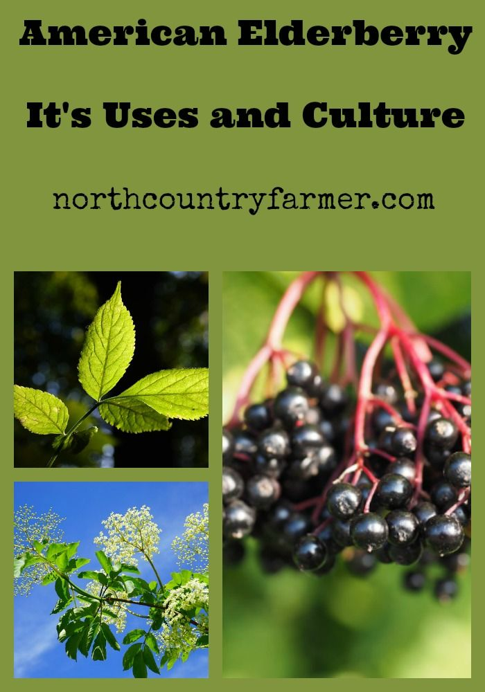 The American Elderberry is a very useful perennial shrub that can fit into many niches in permaculture systems. Learn more about its many uses here...
