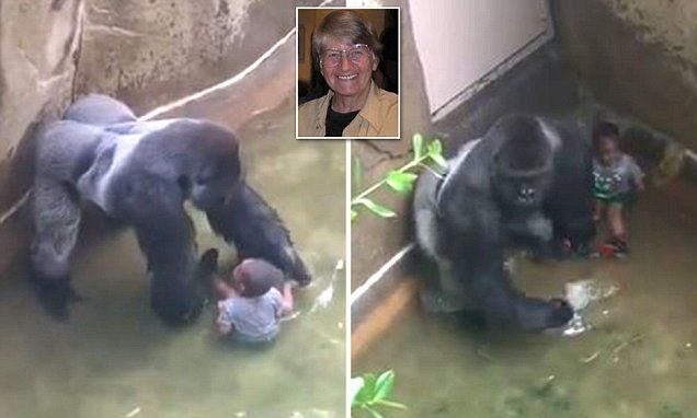 "#Animal expert says #murdered #gorilla WOULD NOT HAVE attacked child... ""He didn""t beat chest""..."