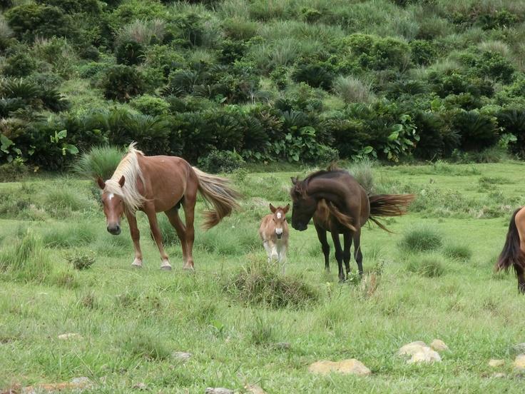 c'mon lil' cutie pony baby! wild horses of ibaruma ranch, ishigaki