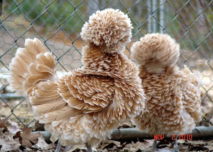 Animals With Majestic Hair-----Polish Buff Laced Chicken.