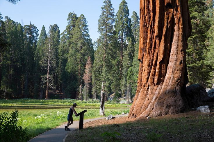 Giant Sequoia, California...A target for the chump...