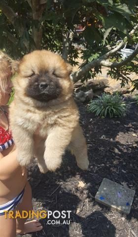 Brown cream chow chow puppies for sale for sale in Gerringong NSW | Brown cream chow chow puppies for sale