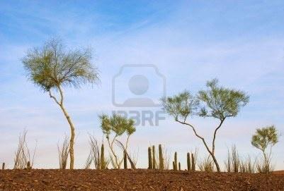 Google Afbeeldingen resultaat voor http://us.123rf.com/400wm/400/400/cantelow/cantelow0911/cantelow091100032/5859182-spichtig-woestijn-bomen-in-een-grimmige-tuin-bij-zonsondergang.jpg