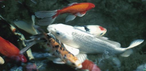 How to keep koi fish in a pond during freezing weather 4 for Koi pond temperature