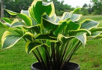 Lakeside Cranberry Relish Hosta