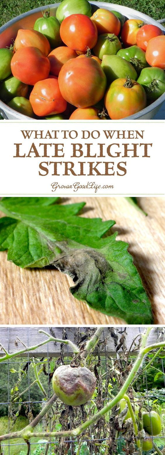 Late blight is not a treatable disease and it will kill your plants. In addition, late blight is highly communicable disease and will infect other gardens and farms within a 50-mile radius. See how to identify and what to do if late blight strikes.