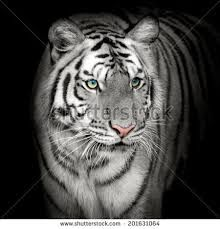 """Image search results for """"white tiger"""""""